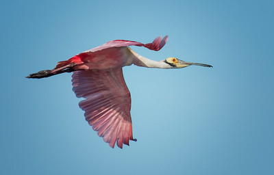 Spoonbill flying to the island