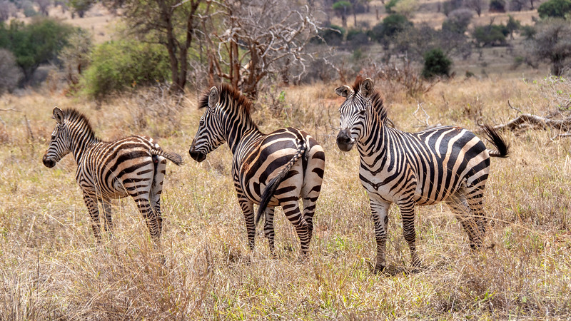 Tanzania-Tarangire-National-Park-Safari-Zebra-03.jpg