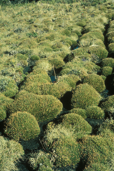 Upper level of Greensword Bog in nearly pure, undisturbed Oreobolus furcatus; January 1979 revisit; photo by Betsy H. Gagné.  (photoID: bhg002007 & bhg002056)