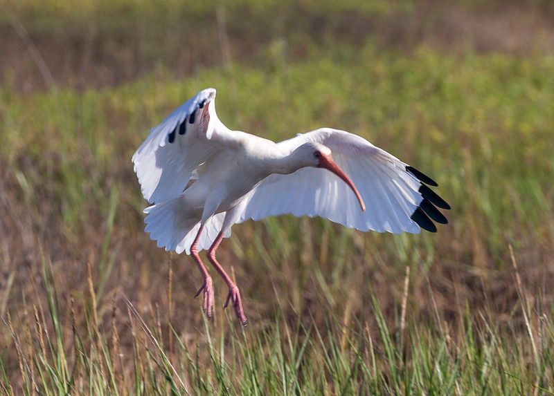Another look at a White Ibis landing