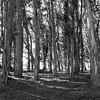 Mostly Eucalyptus