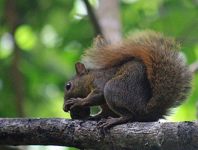 Squirrel, Red-tailed