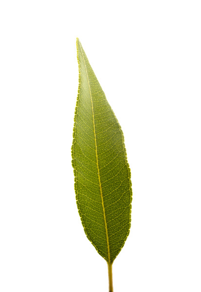 lemon myrtle leaf 2 7p.jpg