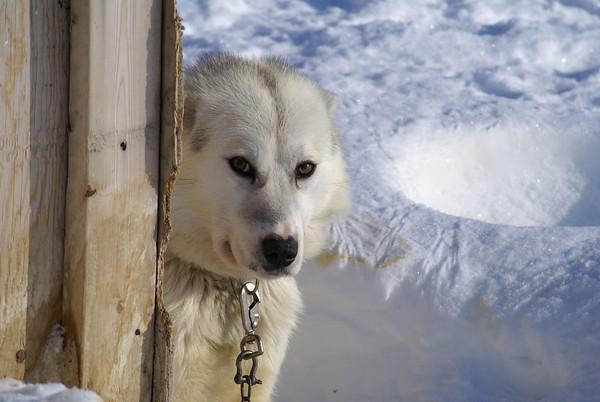 Tuktoyaktuk Dogs