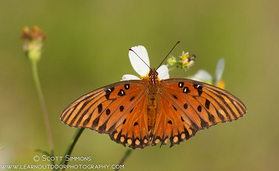 Longwing and Fritillary (Heliconiinae)