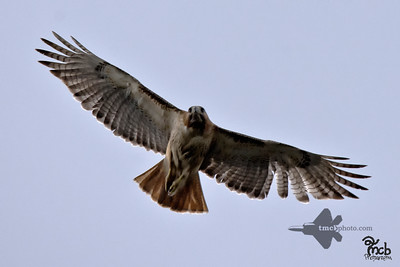 Red-Tailed Hawk_2019-05-09