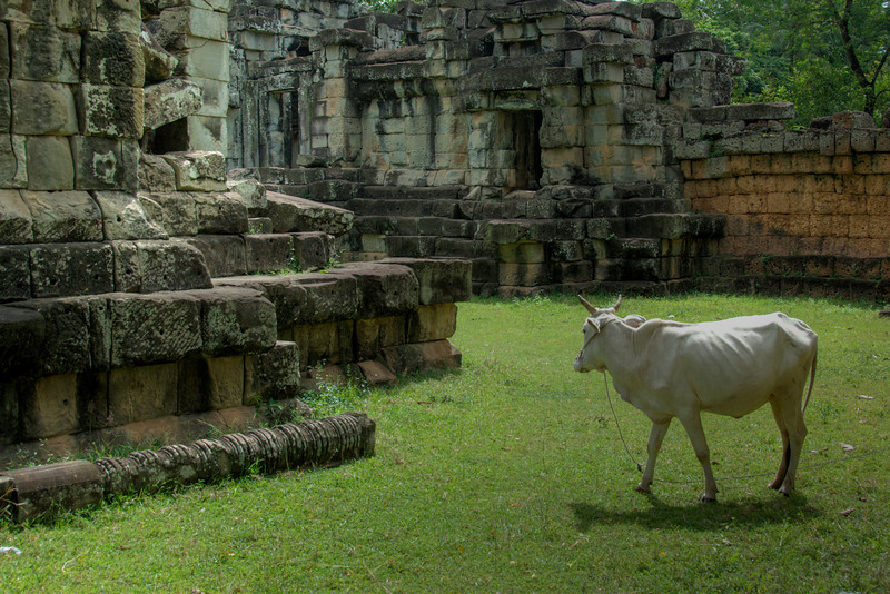 Cow just outside the Angkor Wat Temple
