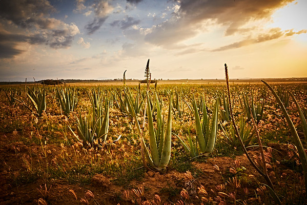 Our Plantations