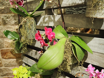 17-044  Longwood Gardens - Orchids 15 Feb Susan