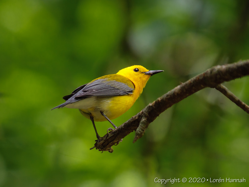 Mason Farms, Chapel Hill, NC - 2020 NC Pandemic Birding