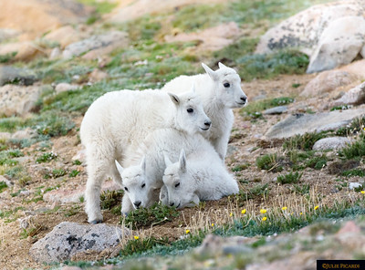 Mountain Goats at Mt. Evans 2017