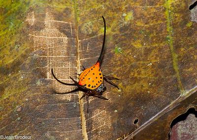 Malaysian spiders - Araignees de Malaysie