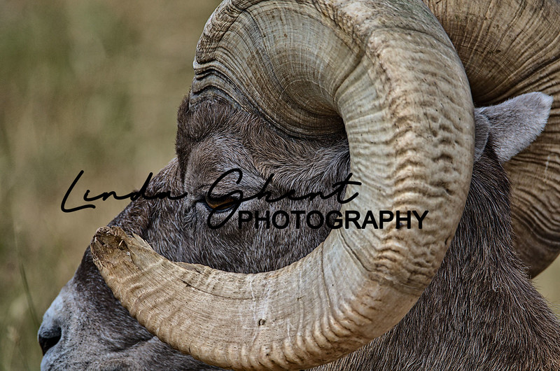 South Dakota Big Horn sheep.jpg