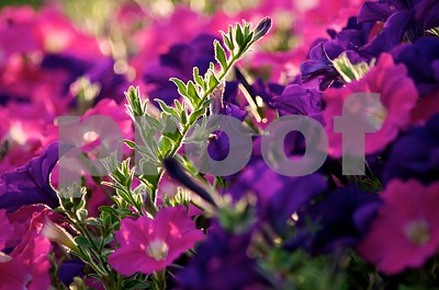 Rising above ...  (petunias)