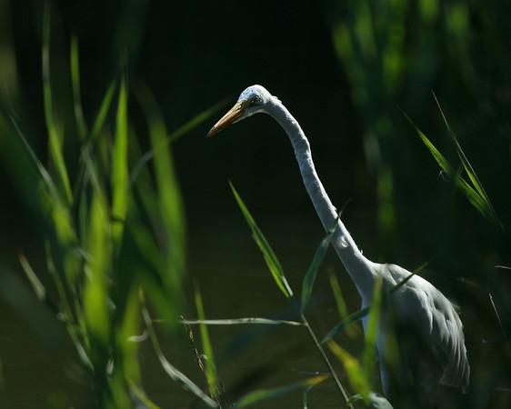 2008 - The Backlit Egret