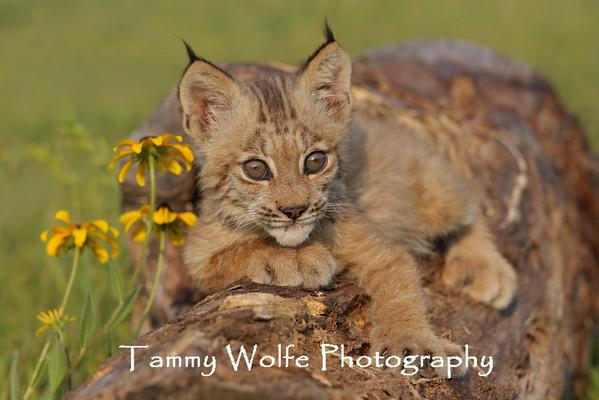 Lynx, Canada
