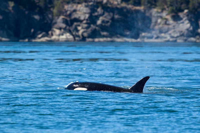 Orcas -  073115-256.jpg