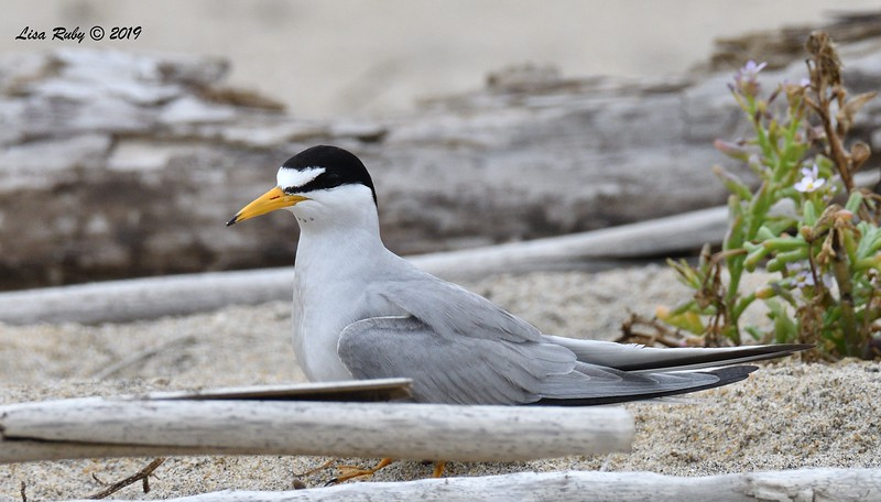Least Tern  - 6/24/2019 - Imperial Beach, Seacoast to river mouth