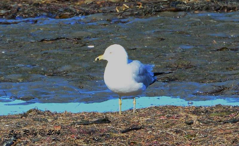 Put on your sunglasses, Blown out Ring-billed Gull - 12/29/2014 - Robb Field