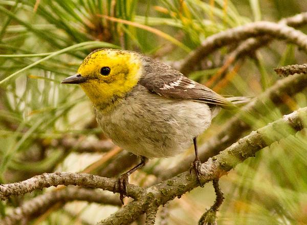 Hermit Warbler Setophaga occidentalis
