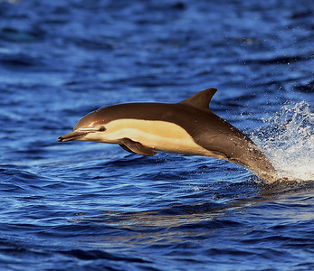 Common Dolphin (Long & Short-beaked)