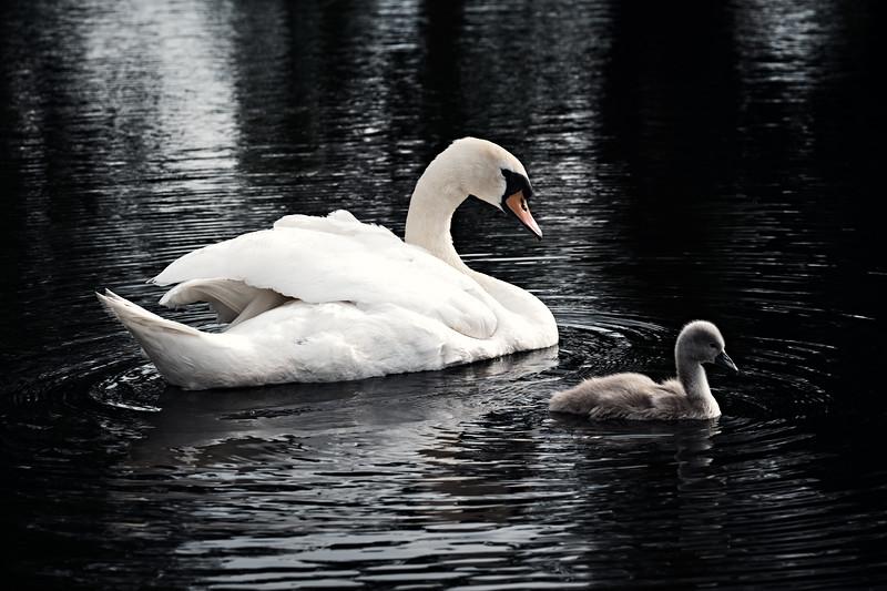 Swans_Of_Castletown033.jpg