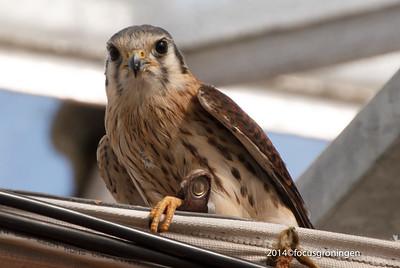 Vogels Torenvalk