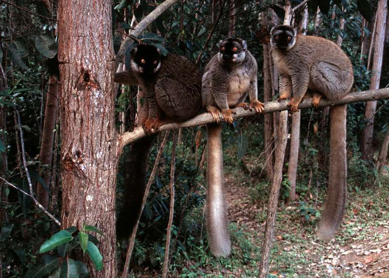 BROWN LEMURS - MADAGASCAR