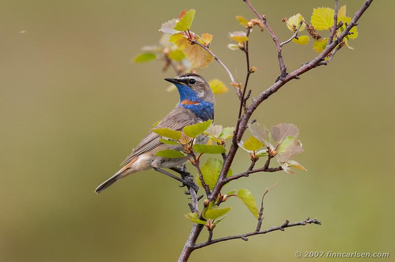 Blåhals - Luscinia svecica - Bluethroat