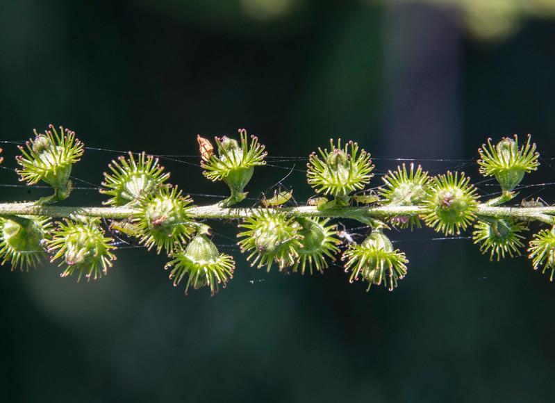 Firestone-aphids.jpg