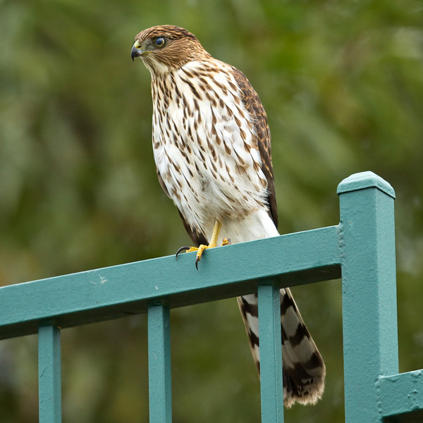Hawk_18.jpg
