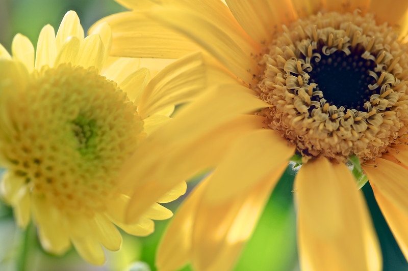 Daisies -Lovely in Yellow
