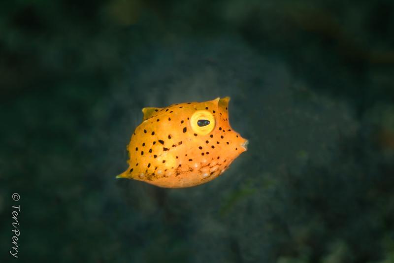 FISH - boxfish baby-0401-Edit.jpg