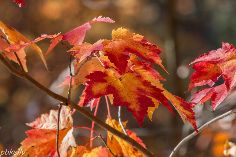 11-03.  North Chagrin.  Interesting color on the Maple leaves;