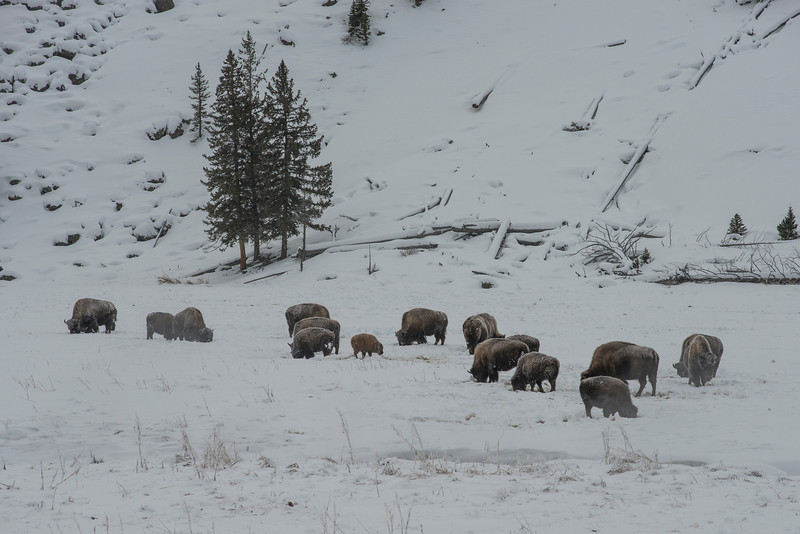Our first heard of Bison.  In the middle you can see a little baby Bison. He was born in August and the park rangers aren't sure if he will survive. He hasn't had enough time to store food and build up fat to keep him warm during the winter. He's also a ripe candidate for the wolves, once the migrate into this part of the park :(