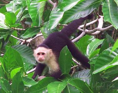 Capuchin White Face