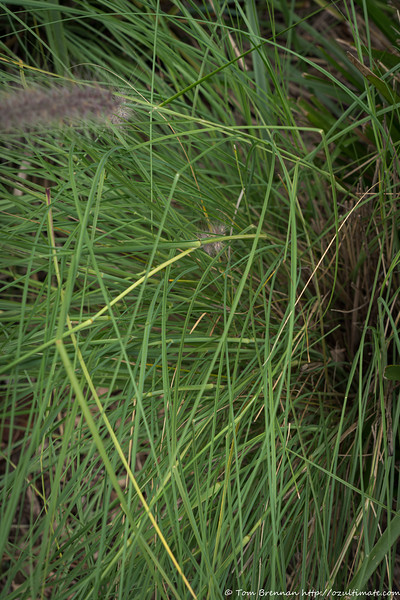 Mystery grass 11 (Pennisetum sp)?