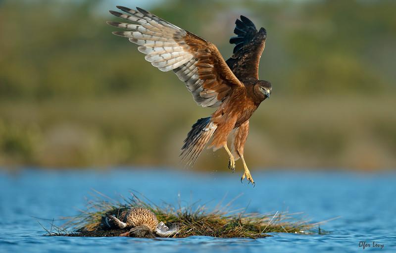 Swamp Harrier 1.jpg