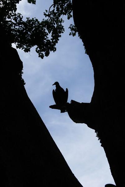 Vulture Silhouette.JPG