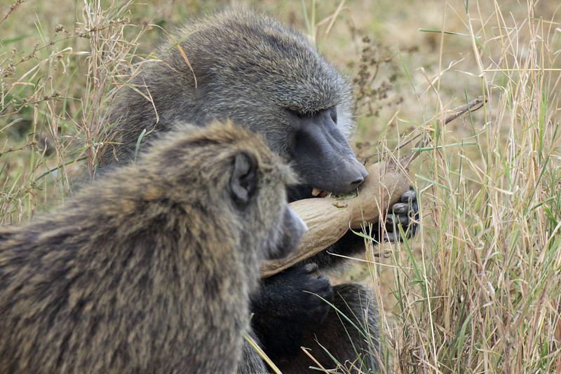 Serengeti - Olive Baboon having a snack...