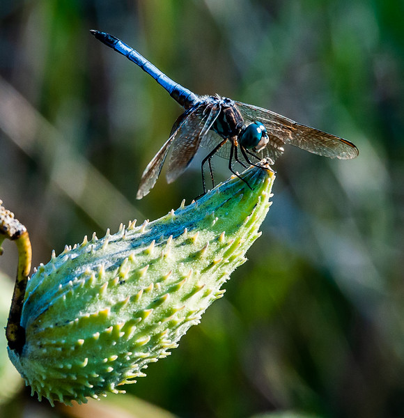Dragonfly Perched on Milkweed