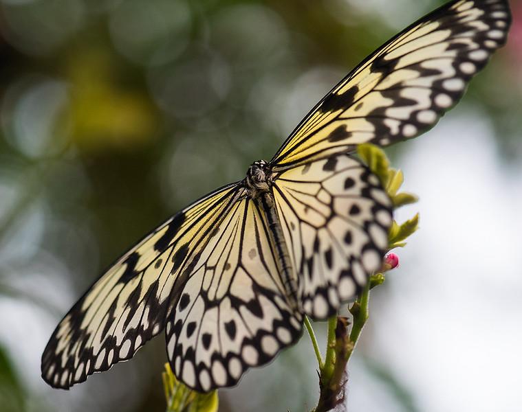 Rice Paper Butterfly 1.jpg
