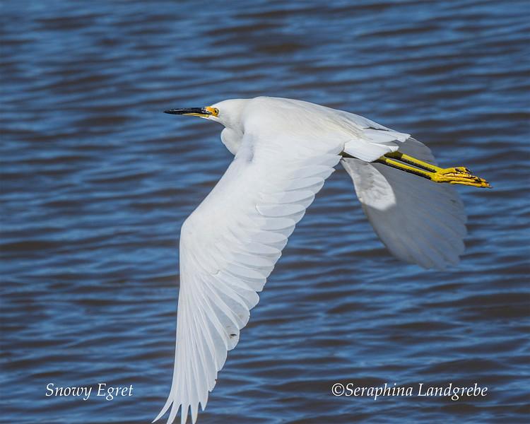 _DSC3759Snowy Egret wings.jpg