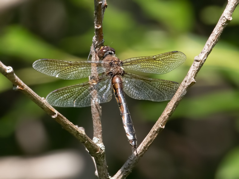 Beaverpond Baskettail (Epithica canis), female