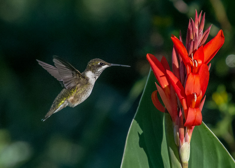 hummingbird canna 1 2016 (1 of 1).jpg