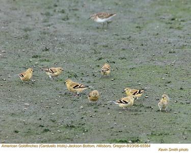 AmericanGoldfinches65564.jpg