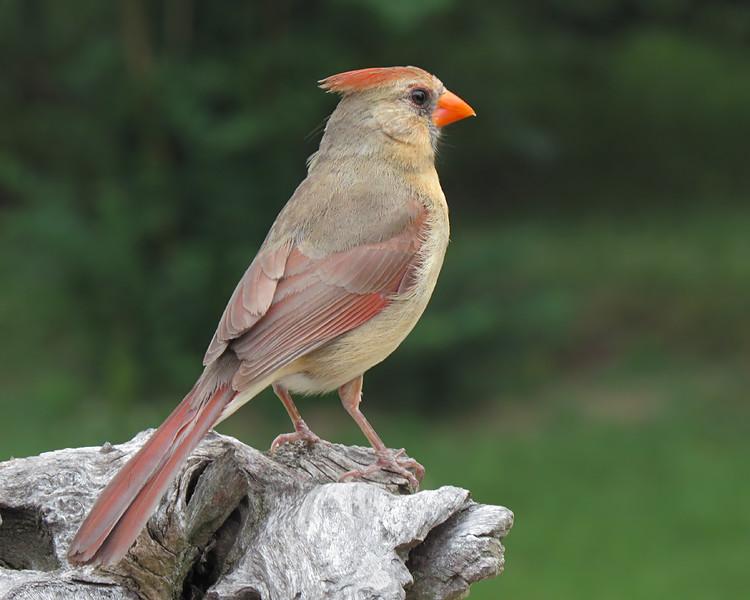 sx50_cardinal_boas_745.jpg
