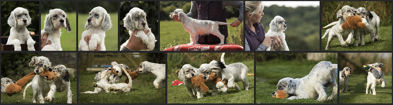 English-Setter-puppies-UK.jpg