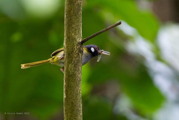 White-eared Tailorbird