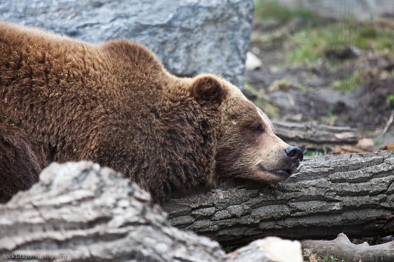 Grizzly Bear, Calgary Zoo, April 26